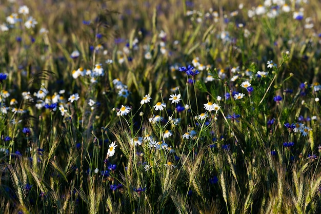 Acianos en el campo - acianos azules que crecen en el campo agrícola plantado con espigas de cereales.