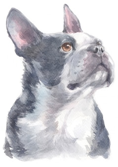 Acuarela de boston terrier