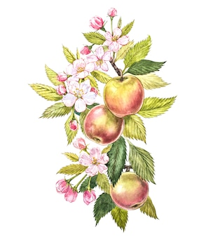 Acuarela colorida de las ramas de manzano con frutas, flores y hojas. ilustración botánica acuarela aislado en blanco.
