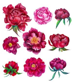Acuarela conjunto floral de peonías.