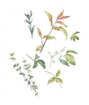 Acuarela de hojas ilustración sobre fondo blanco.