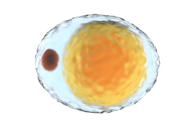 Un adipocito, también conocido como célula grasa aislado en blanco