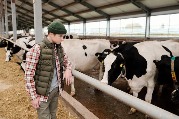 Adolescente curioso con sombrero caqui apoyado en la baranda del establo y mirando las vacas mientras trabajaba en el establo