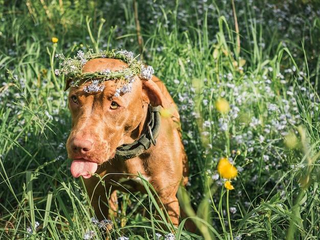 Adorable, bonito cachorro de color chocolate. de cerca