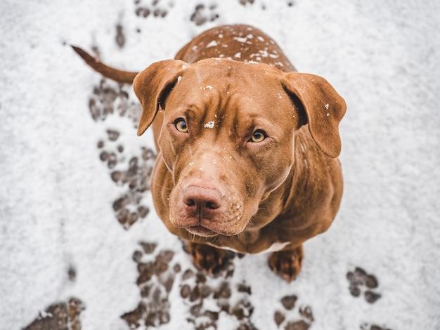 Adorable y bonito cachorro de color chocolate. primer plano, al aire libre. luz diurna. concepto de cuidado, educación, entrenamiento de obediencia, crianza de mascotas.