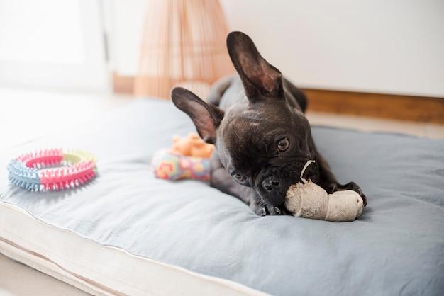Adorable bulldog francés jugando con juguetes