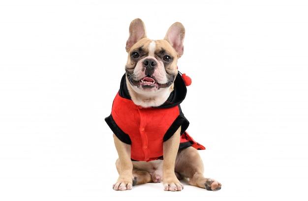 Adorable bulldog francés vistiendo un lindo y divertido disfraz de mariquita aislado