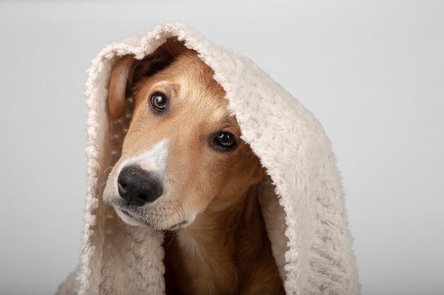 Adorable cachorro con una manta sobre su cabeza