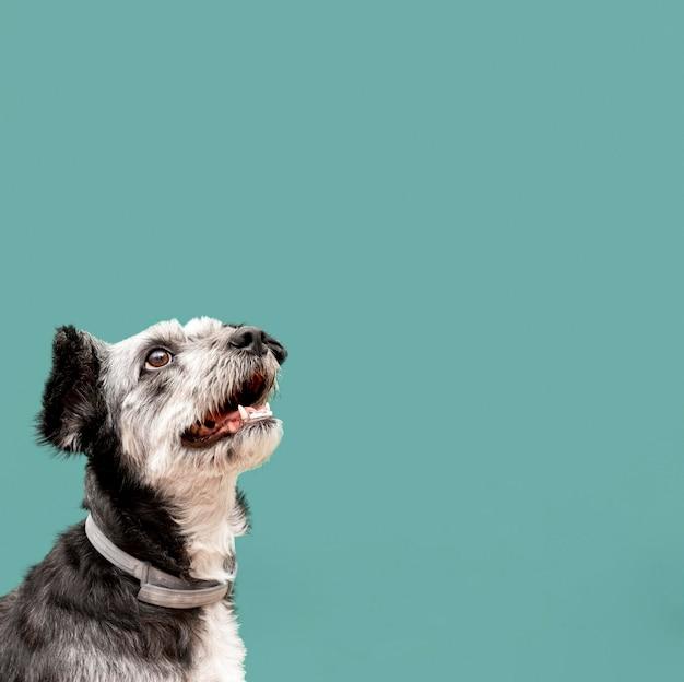 Adorable cachorro de raza mixta mirando hacia arriba con espacio de copia