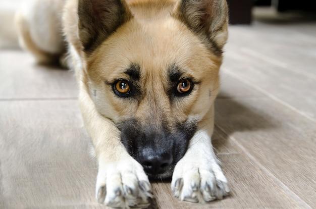 Adorable cara de perro entre sus patas. shepard tendido y mendigando en el suelo, de cerca la cabeza