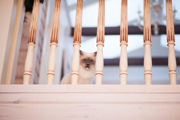 Adorable gato esponjoso siberiano con ojos azules en el interior