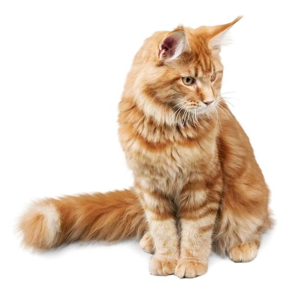 Adorable gato rojo aislado sobre fondo blanco.