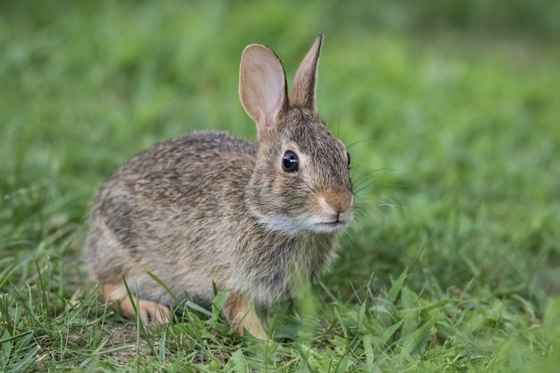 Adorable joven conejo de rabo blanco oriental closeup en pasto verde