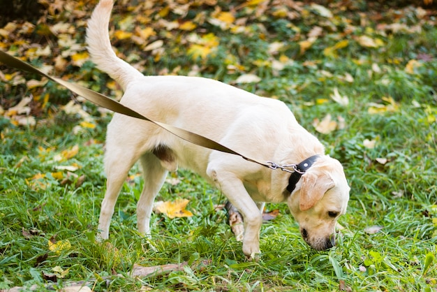 Adorable labrador al aire libre para pasear