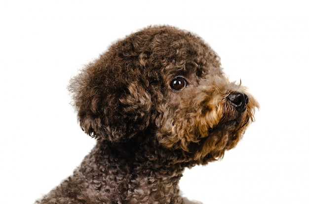 Adorable perro caniche toy negro sobre fondo blanco.