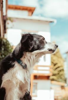 Adorable perro hermoso blanco y negro sobre fondo borroso