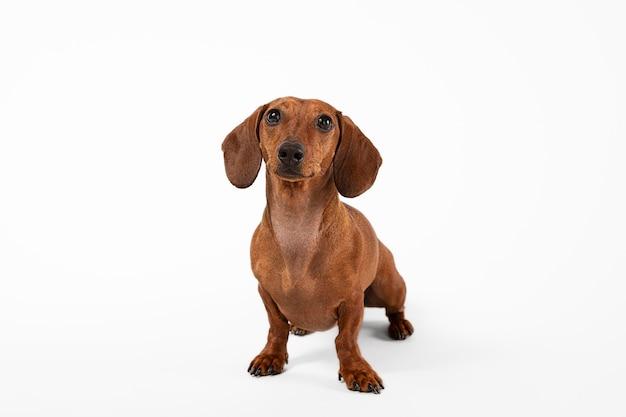 Adorable perro mirando hacia arriba en un estudio.
