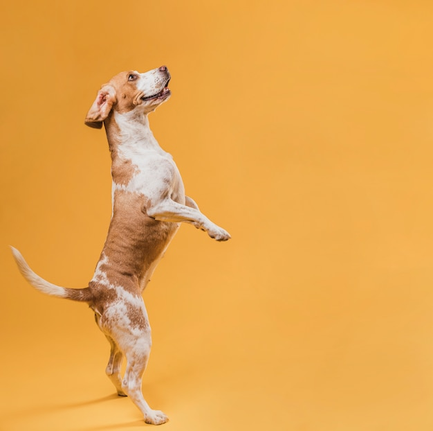 Adorable perro parado sobre sus patas traseras