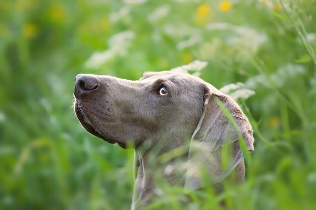 Adorable perro weimaraner marrón en la naturaleza