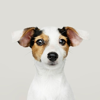 Adorable retrato de cachorro de jack russell retriever