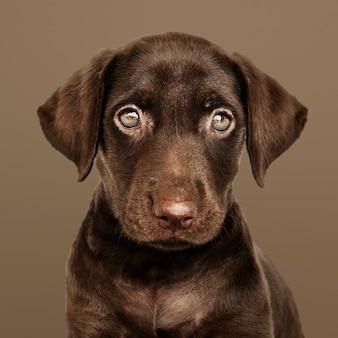 Adorable retrato de labrador retriever chocolate