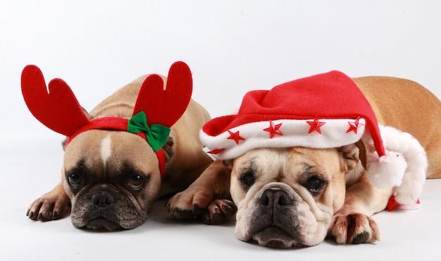 Adorables bulldogs con gorro de papá noel y cuernos de reno en la pared blanca