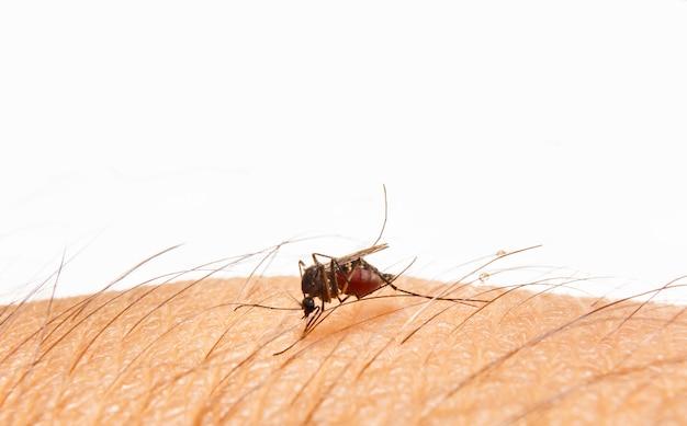 Aedes aegypti. cerrar un mosquito chupando sangre humana.