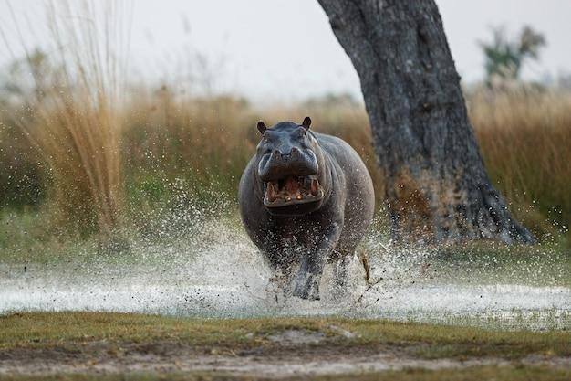 África hipopótamo amphibius