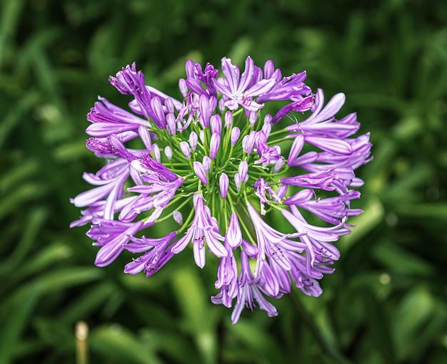 Agapanthus es una planta ornamental de jardín y de interior.