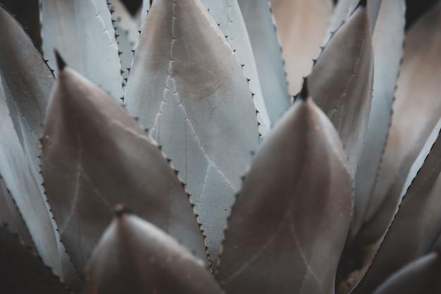 Agave parryi, planta suculenta, hoja de espina