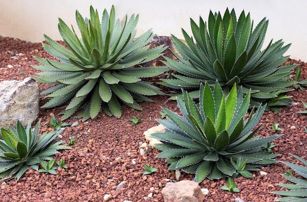 Agave planta decorativa en el jardín al aire libre