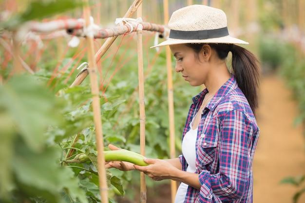 Agricultor cosechando o recogiendo berenjenas tailandesas de árboles en una granja de hortalizas