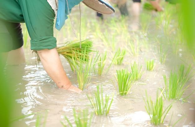 Agricultor cultivando arroz en arrozales, personas plantando plántulas