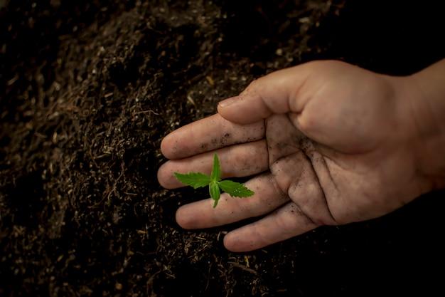 Agricultor dando un fertilizante químico cannabis semillero a mano.