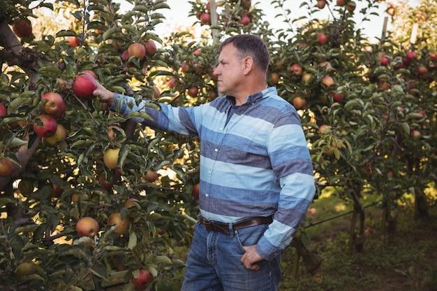 Agricultor mirando manzanas