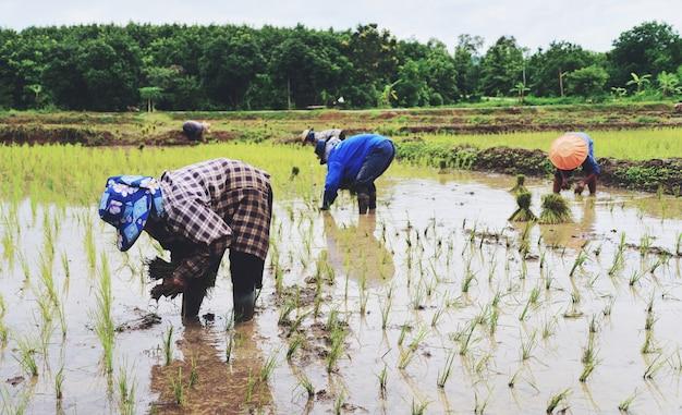 Agricultor plantando en las tierras de cultivo de arroz de arroz orgánico