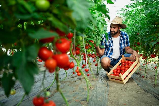Agricultor recogiendo verduras frescas de tomate maduro y poniendo en cajón de madera