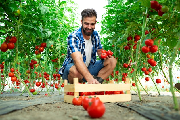Agricultor recogiendo verduras frescas de tomate maduro para la venta en el mercado