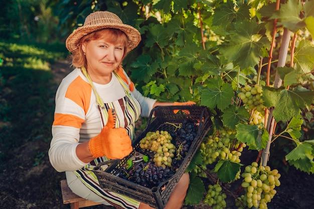 Agricultor recolectando cosecha de uvas en granja ecológica.