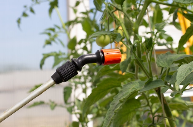 Un agricultor rocía pepinos con pesticidas en un invernadero. protección de hortalizas de insectos.
