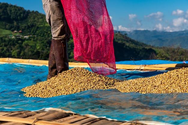 Agricultor secando granos de café crudo en el piso