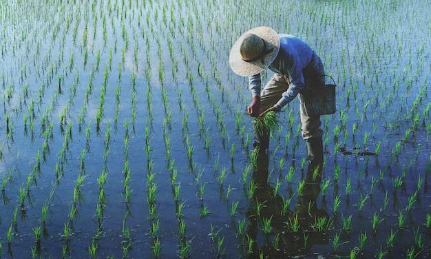 Agricultor siembra arroces en el campo.