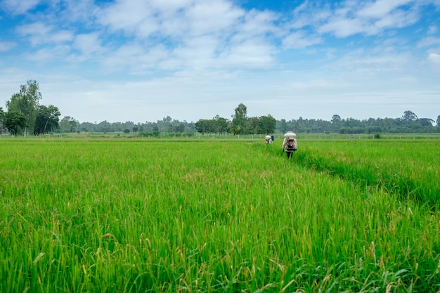 Agricultor tailandés para herbicidas o fertilizantes químicos equipos en los campos de cultivo de arroz verde
