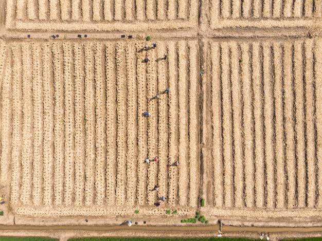 Agricultor tailandés trabajando en una pequeña planta o plantación de cultivos.