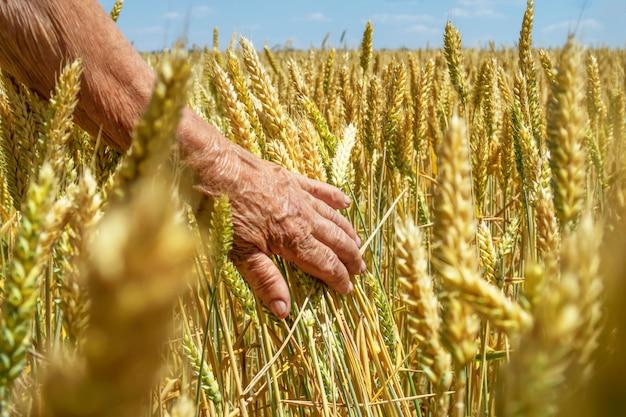 El agricultor toca las espiguillas de trigo con la mano. campo soleado de cultivos de granos