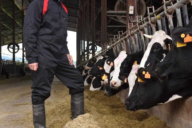 Agricultor trabajando en una granja de vacas