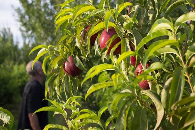 Agricultor viendo la cosecha de durazno. cosecha de nectarina.