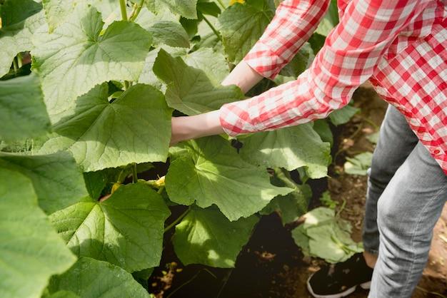 Agricultora en invernadero cosechando verduras