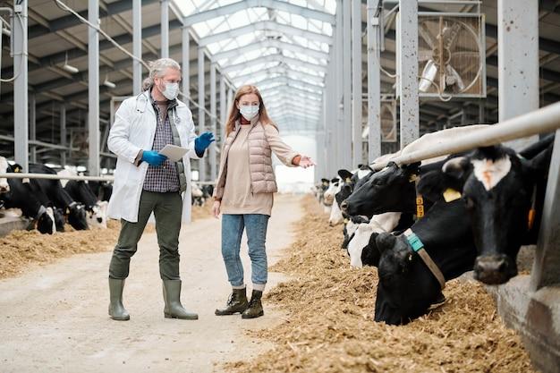 La agricultora en máscara protectora mostrando vaca enferma en el puesto de ganado al veterinario en el establo
