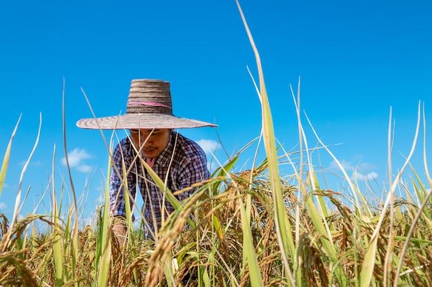 Los agricultores cosechan arroz en los campos en el cielo azul brillante